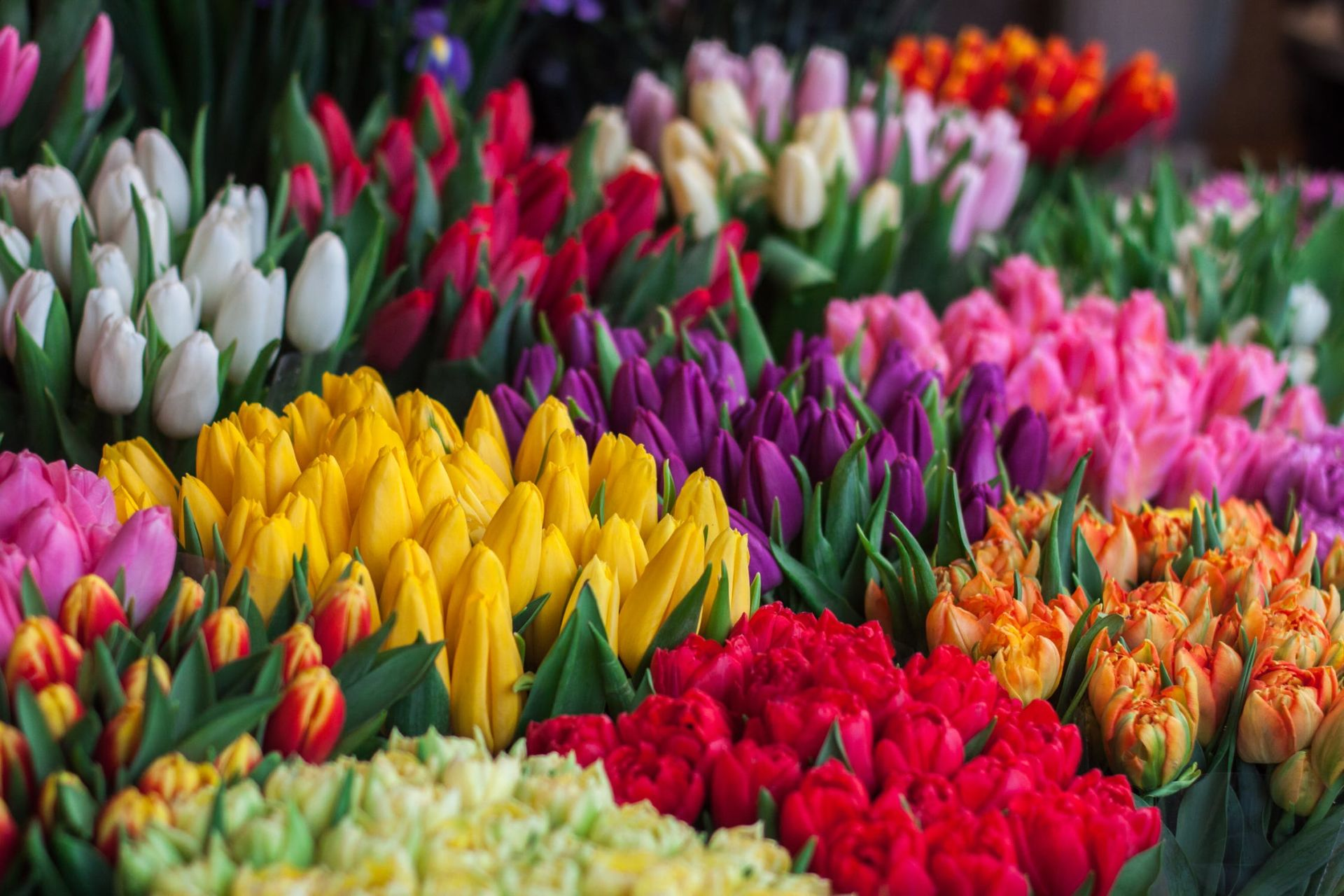 tulips bunched into colours